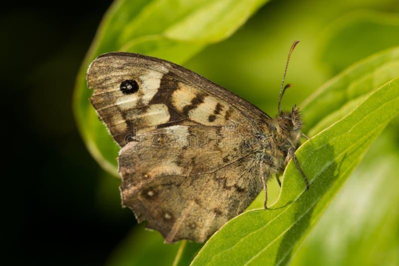 Cętkowany Drewniany motyl (Pararge aegeria) fotografia royalty free
