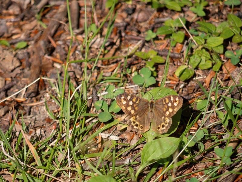Cętkowany drewniany motyl w siedlisku Pararge aegeria obrazy stock