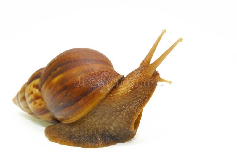 c蜗牛 免版税库存照片