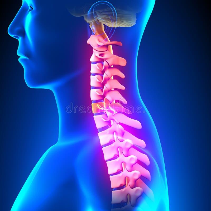 C6圆盘-子宫颈脊椎 皇族释放例证