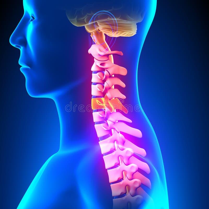 C5圆盘-子宫颈脊椎 库存例证