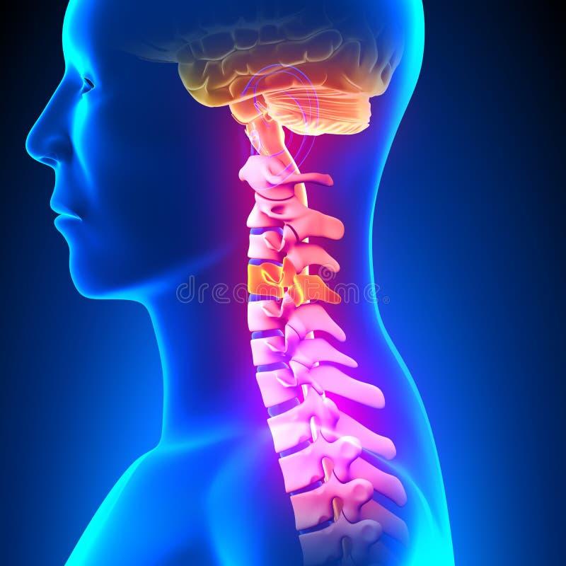 C4圆盘-子宫颈脊椎 库存例证