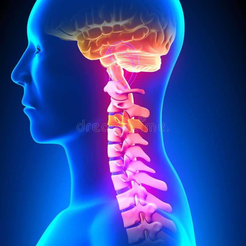C3圆盘-子宫颈脊椎 皇族释放例证