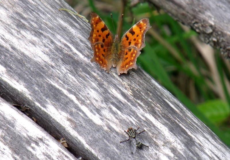 C-album di Polygonia della farfalla di virgola fotografia stock