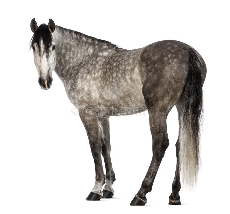 $c-andalusisch, 7 jaar oud, bekijkend camera, die ook als het Zuivere Spaanse Paard wordt bekend royalty-vrije stock afbeelding