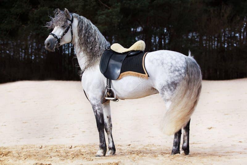$c-andalusisch paard stock afbeelding