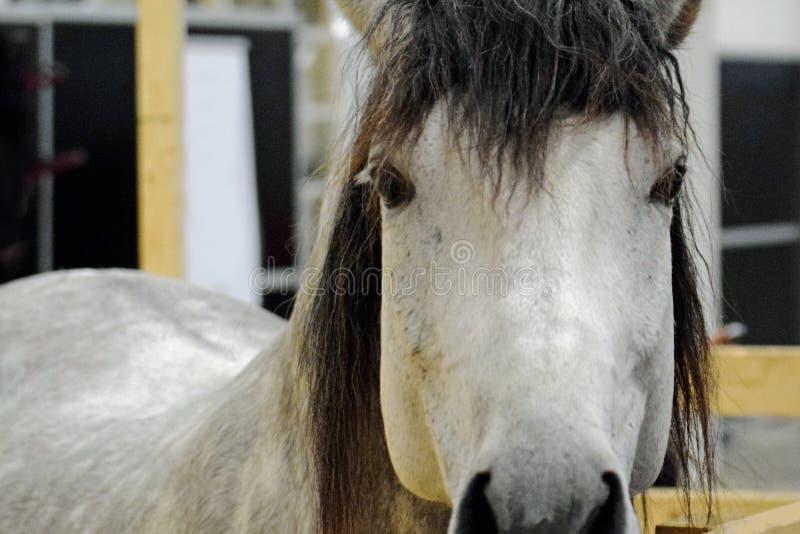 $c-andalusisch paard die camera bekijken royalty-vrije stock fotografie