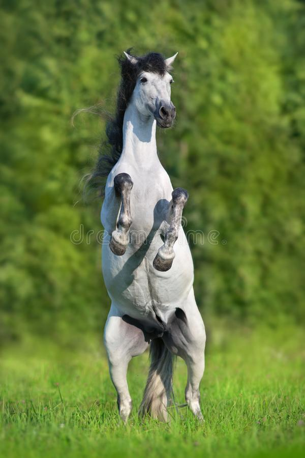 $c-andalusisch paard die omhoog grootbrengen stock afbeelding