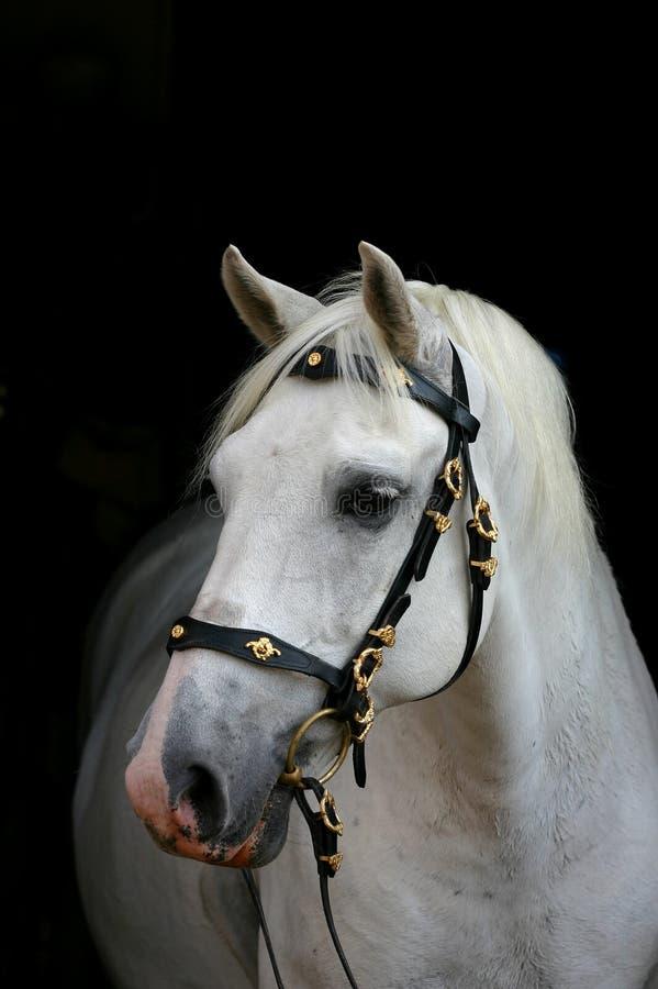 $c-andalusisch paard op zwarte stock foto
