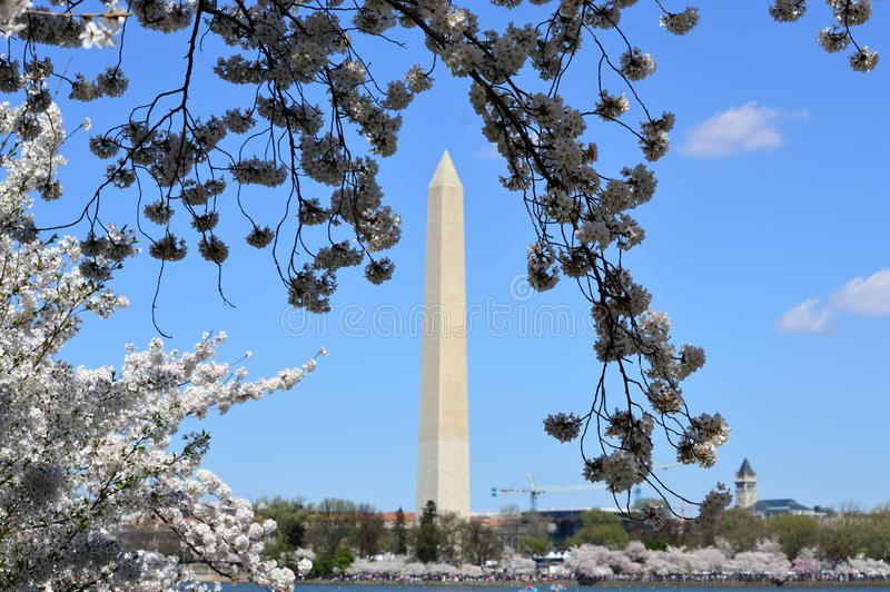 C.C de Washignton, Colombie, Etats-Unis - 11 avril 2015 : vue de monument de Washington par des fleurs de cerisier photo stock