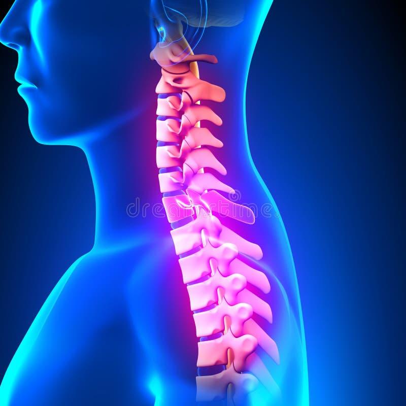 C7 Disc - Cervical Spine vector illustration