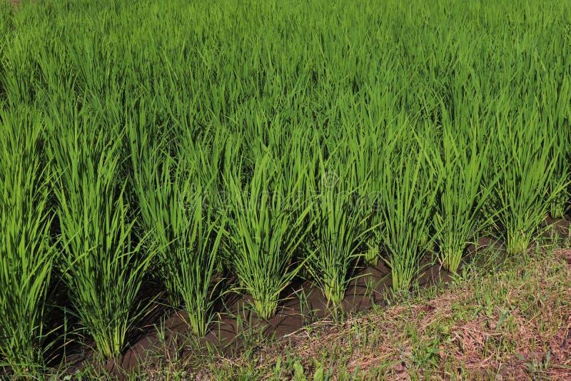 C'est gisement de riz d'été au Japon photos stock