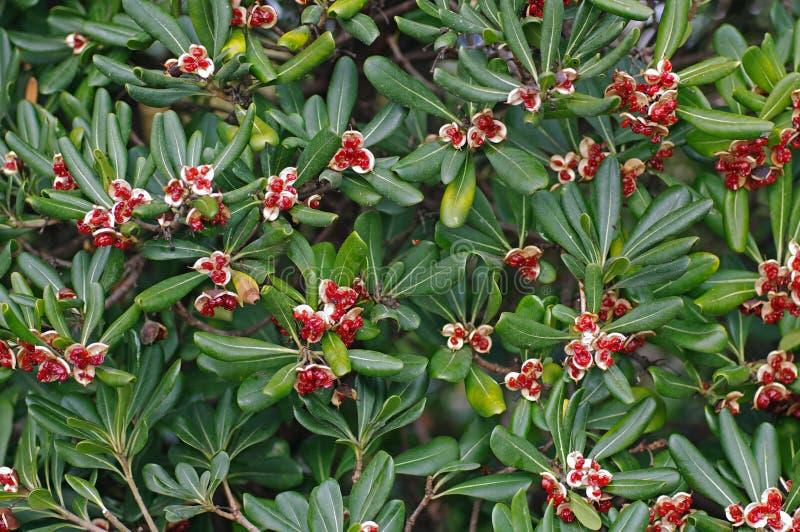 C'est laurier australien de tobira de Pittosporum, pittosporum japonais, cheeswood japonais image libre de droits