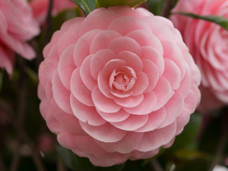camélia Double-fleuri photographie stock