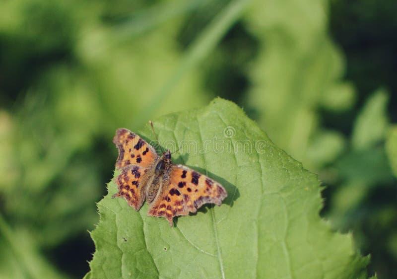 C-?lbum do Polygonia da borboleta de v?rgula fotos de stock