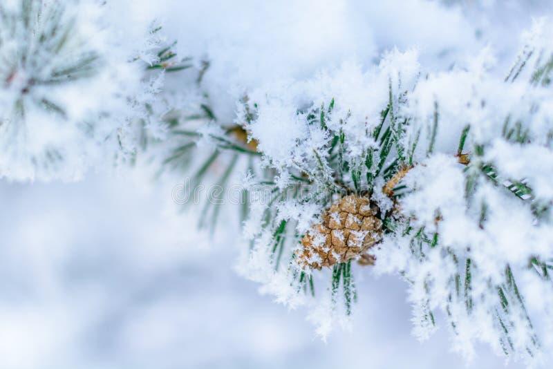 Cône de pin après avoir plu la neige photos libres de droits