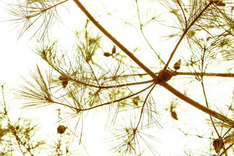 Cône de pin (effet filtré de vintage traité par image ) photographie stock