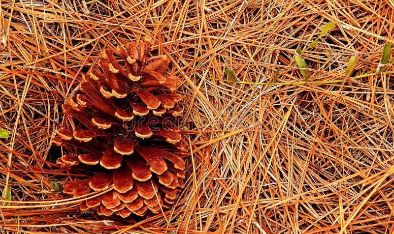 Cône de pin sur des aiguilles de pin photographie stock libre de droits