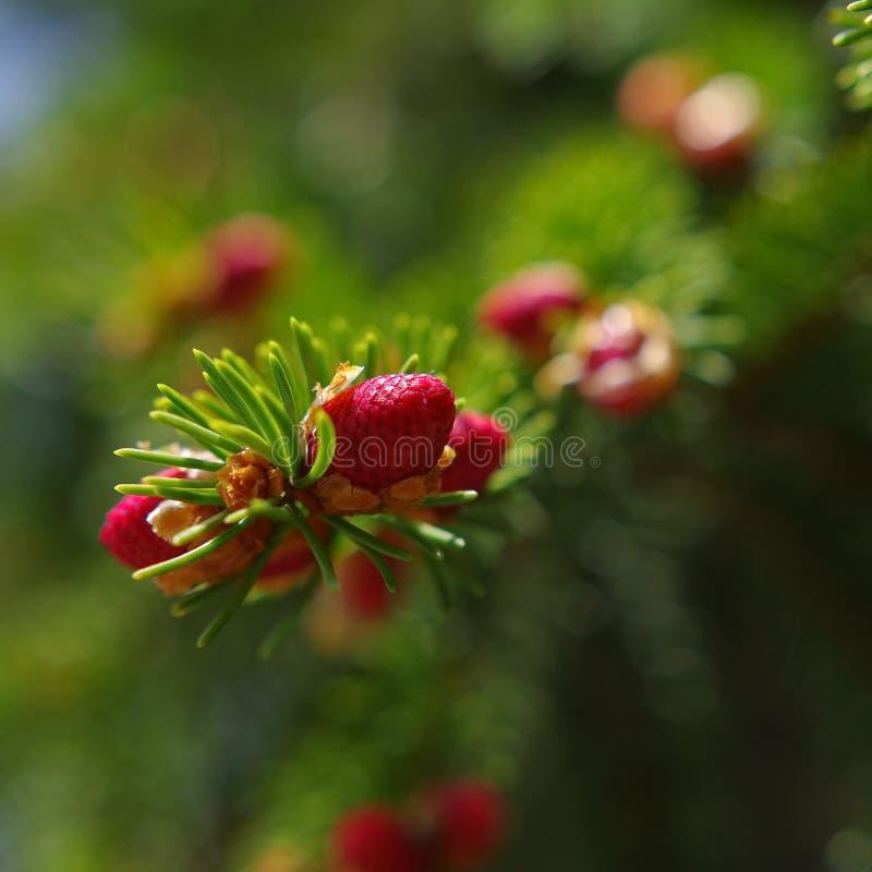 Cône de rouge de pin photographie stock libre de droits