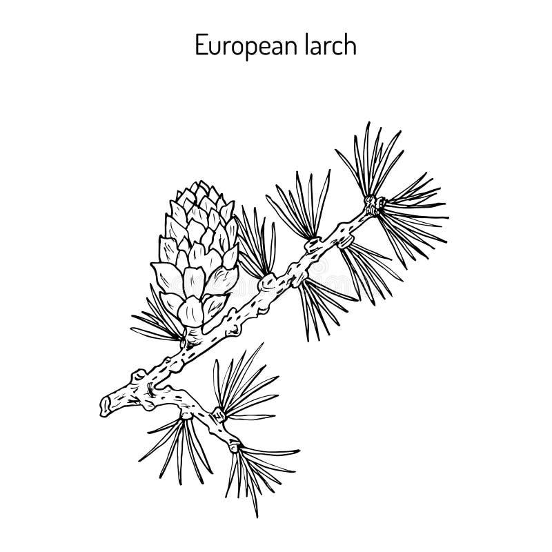 Cône et branche de mélèze illustration libre de droits