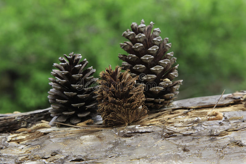 Cônes de pin dans la forêt photographie stock