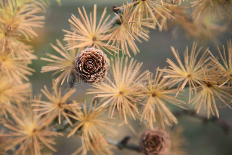 Cônes et aiguilles d'un arbre de mélèze photographie stock libre de droits
