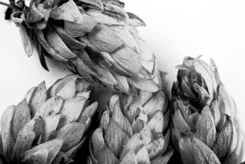 Cônes noirs et blancs d'usine de brasserie de bière d'houblon photos stock