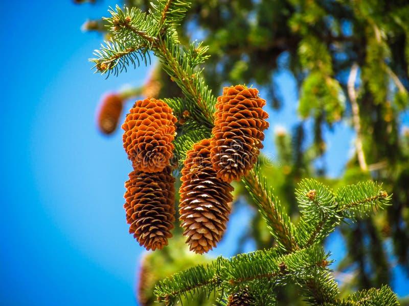 Cônes pendant d'un arbre photo stock