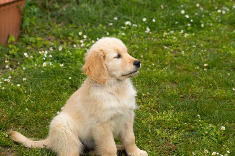 C?o de cachorrinho da ra?a do golden retriever foto de stock royalty free