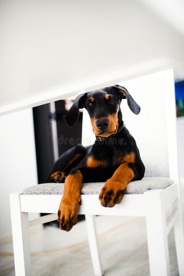 c?o de cachorrinho novo do Doberman imagem de stock
