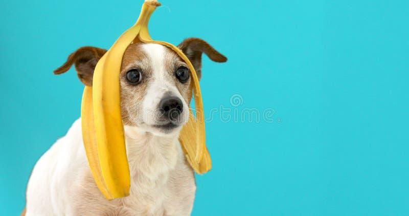 C?o engra?ado com a casca da banana em seu retrato principal imagens de stock royalty free