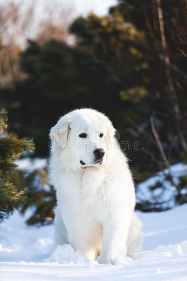 C?o pastor abruzzese do maremmano bonito e livre O retrato do c?o macio branco grande est? na neve na floresta no inverno imagem de stock