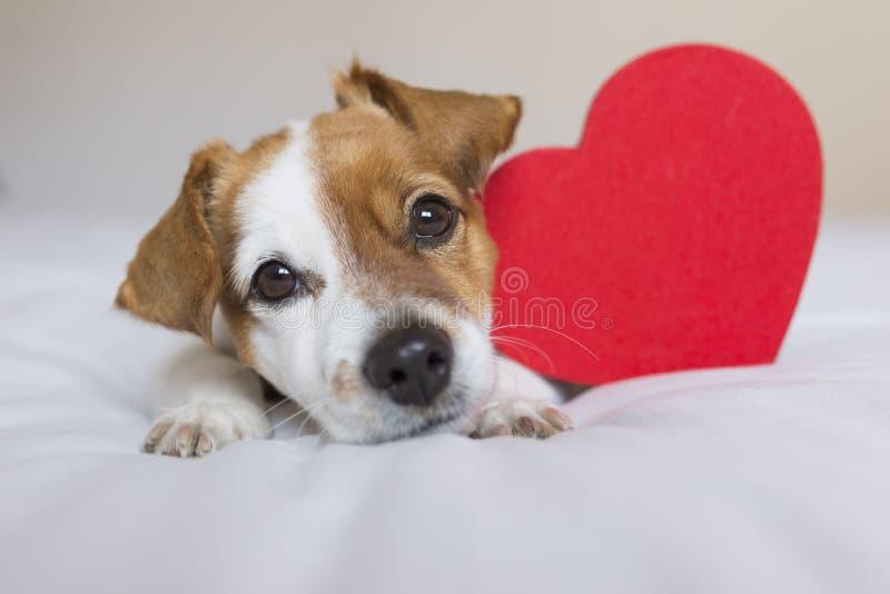 C?o pequeno novo bonito que senta-se na cama com um cora??o vermelho Conceito do dia dos Valentim Animais de estima??o dentro imagem de stock