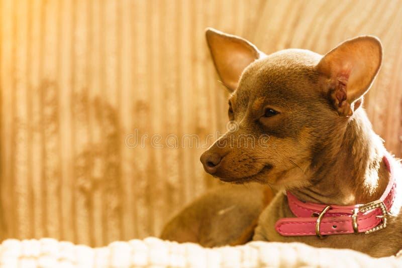 C?o pequeno que senta-se no sof? fotografia de stock royalty free