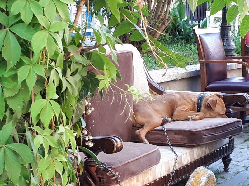 C?o que encontra-se em um sof? fotografia de stock royalty free