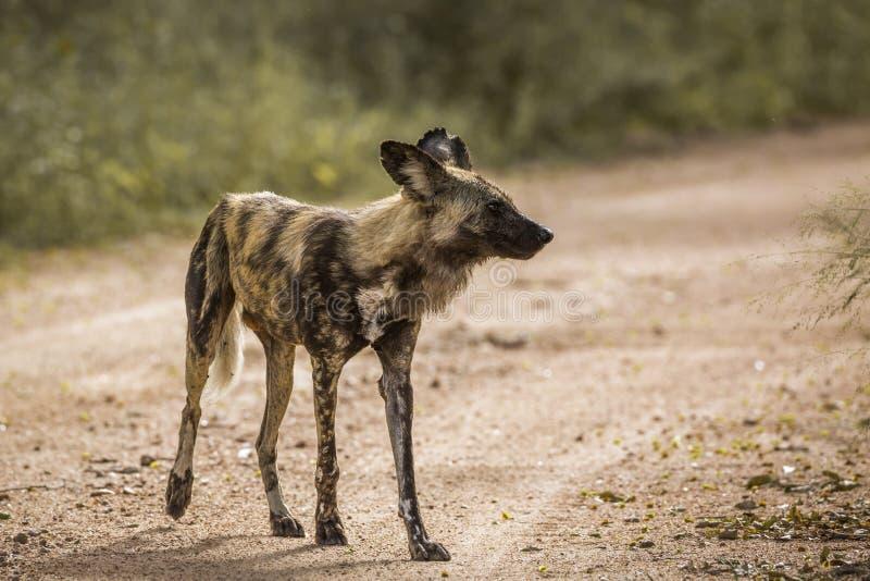 C?o selvagem africano no parque nacional de Kruger, ?frica do Sul fotos de stock royalty free