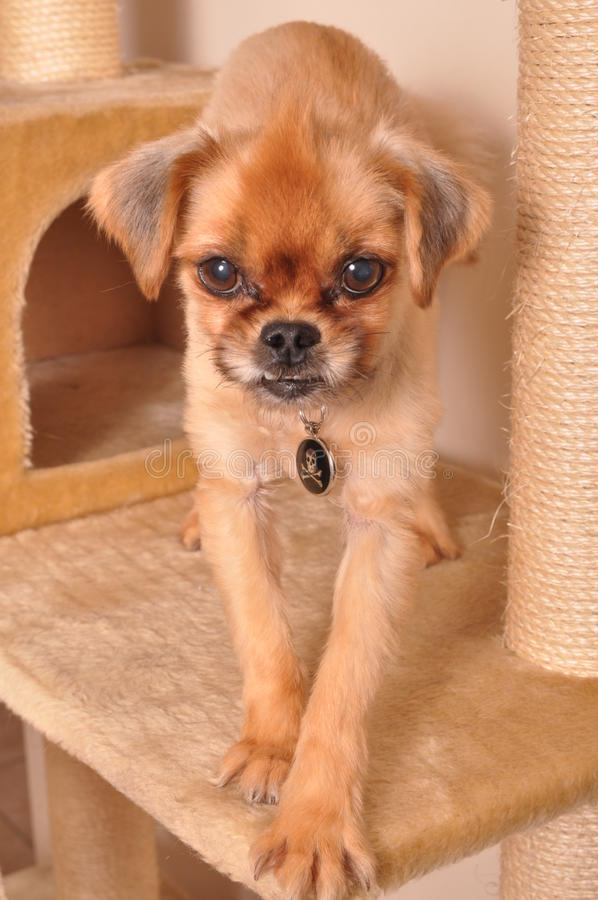 C.A.P. Pet royalty free stock photo