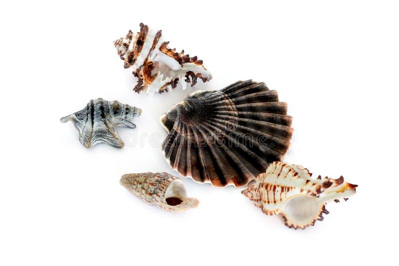 C?scaras de la concha Habitantes del mar Naturaleza magn?fica imagenes de archivo