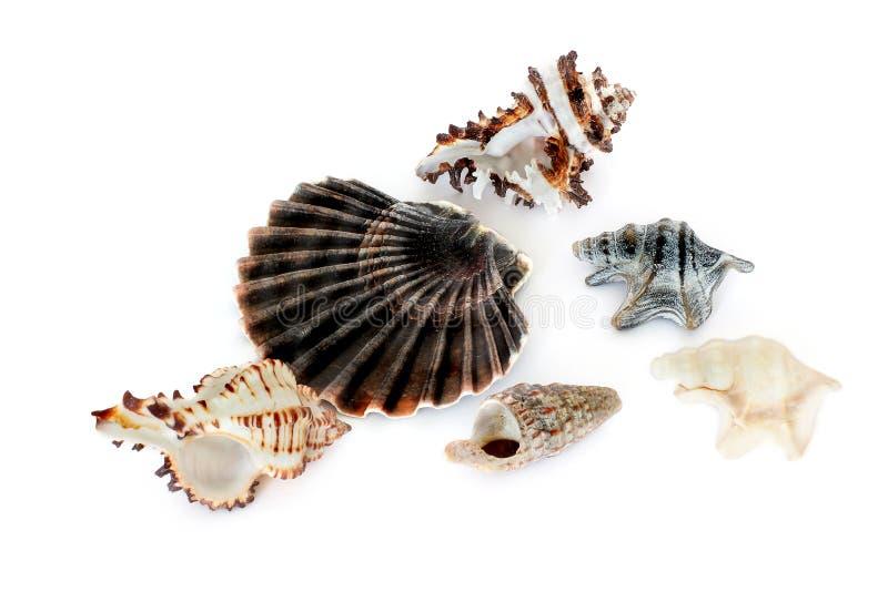 C?scaras de la concha Habitantes del mar Naturaleza magn?fica Seashells en un fondo blanco foto de archivo libre de regalías
