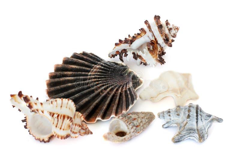 C?scaras de la concha Habitantes del mar Naturaleza magn?fica Seashells en un fondo blanco fotos de archivo libres de regalías