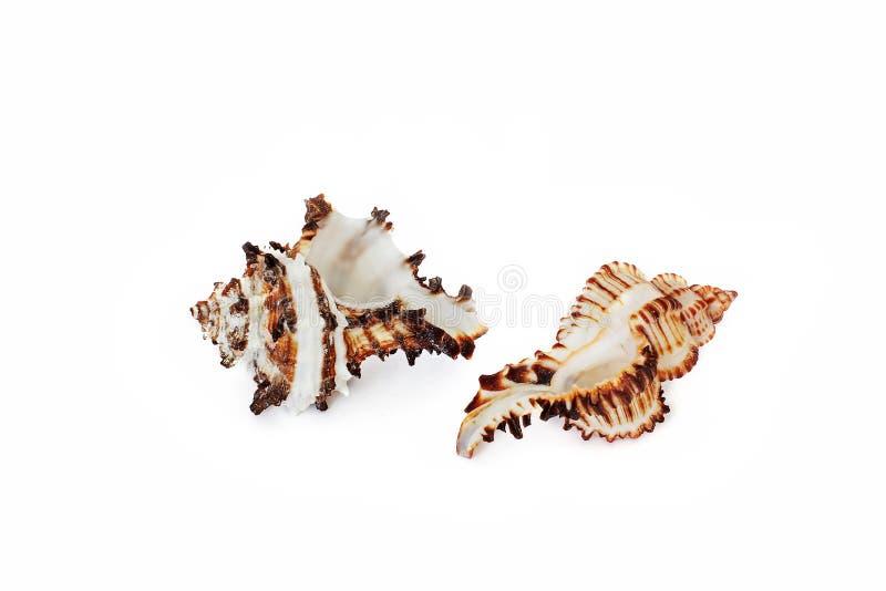C?scaras de la concha Habitantes del mar Naturaleza magn?fica Seashells en un fondo blanco imágenes de archivo libres de regalías
