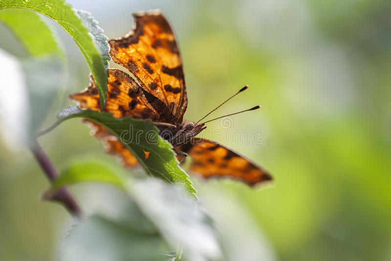 C-Schmetterling - Polygoniacalbum lizenzfreies stockbild