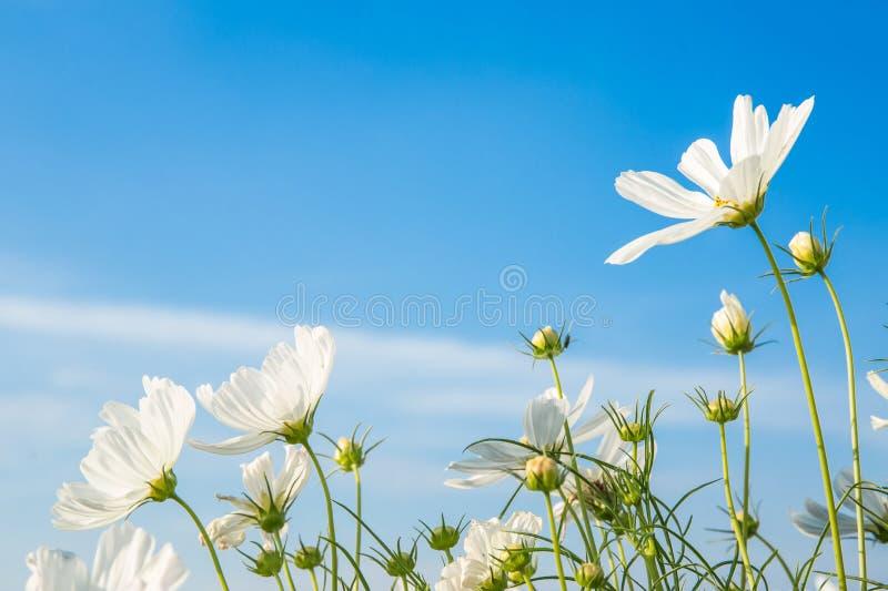 C sulphureus Cav oder Schwefel-Kosmos, Blume und blauer Himmel stockfotografie