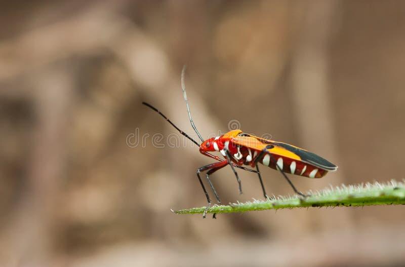 Côté de scarabée rouge sur la feuille regardant vers le bas photographie stock