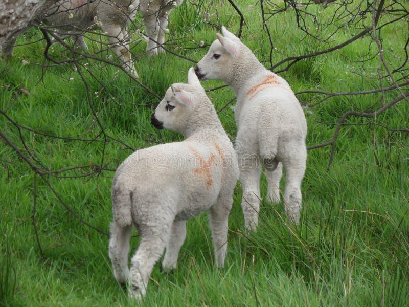 Côtelette d'agneau photos stock