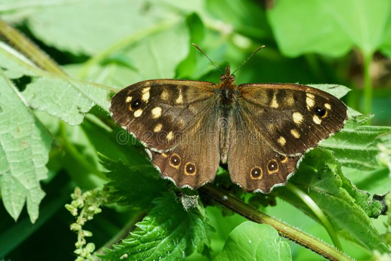 C?tkowany drewniany motyli Pararge aegeria obrazy stock