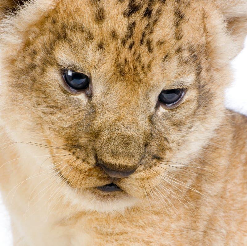 C van de Welp van de leeuw stock foto's