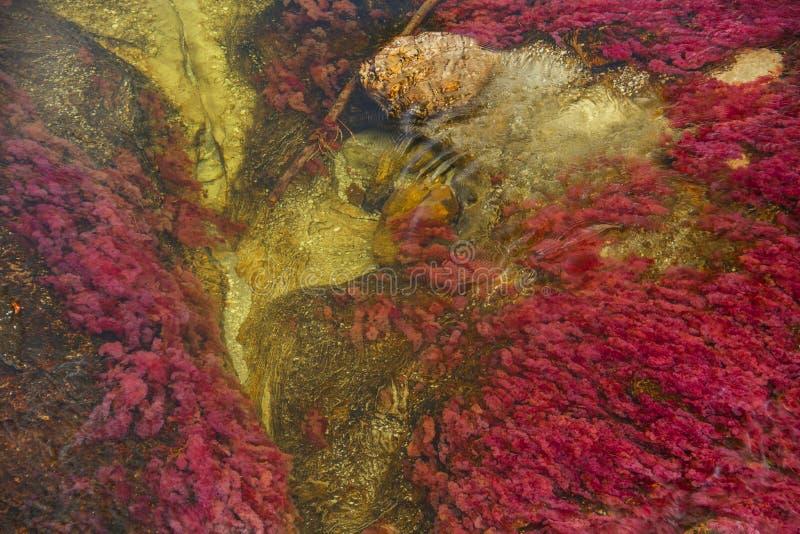 Caño Cristales floden för sju färger arkivfoto