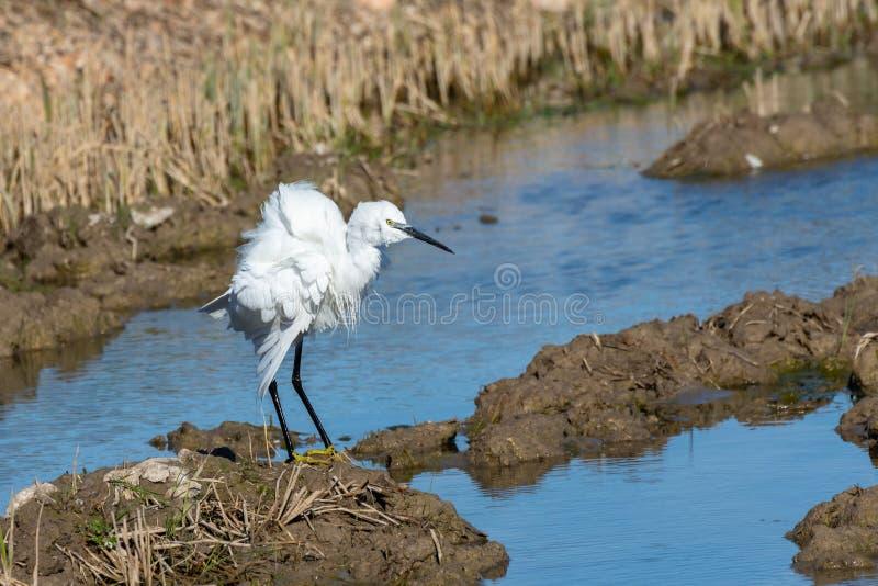 Caça alba do Ardea branco do egret e pesca nos campos do arroz do parque natural de Albufera, Valência, Espanha Retrato natural fotos de stock royalty free
