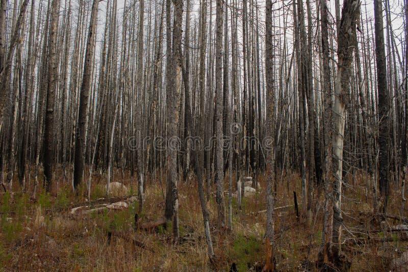Caça através das árvores foto de stock